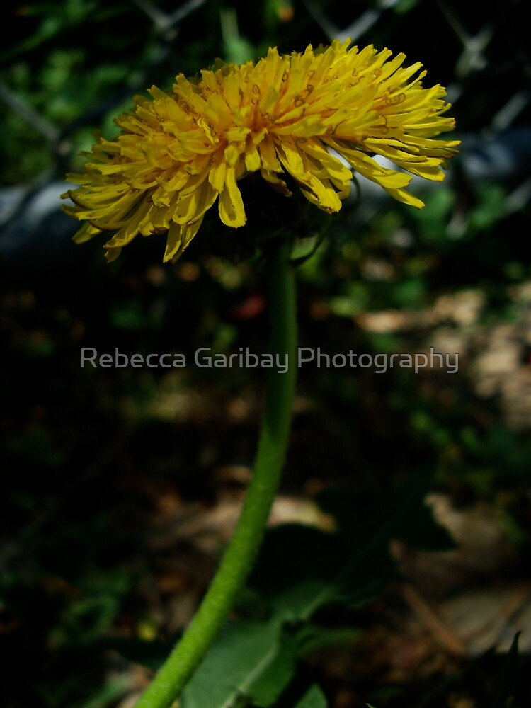 daisys by Rebecca Garibay Photography