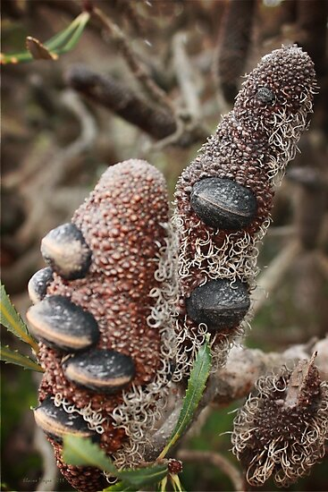 Banksia Attenuata (Candle Banksia) - The Cone by Elaine Teague