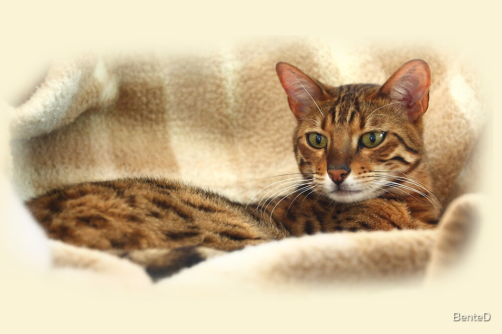 Bengal Cat by BenteD