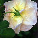 Dew Drop Morning by Lorraine McCarthy by Lozzar Flowers & Art