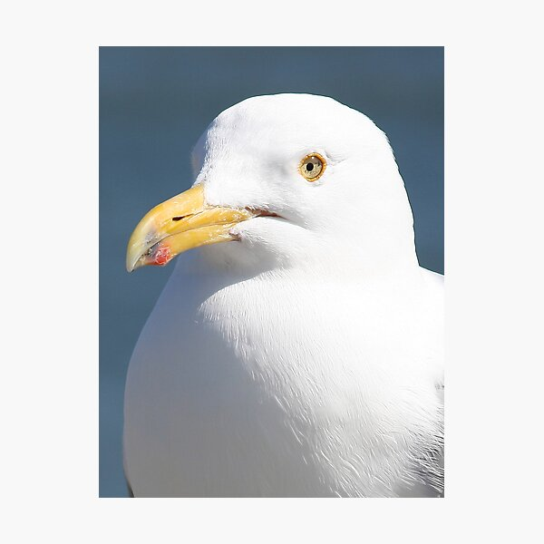 Gull Portreture Photographic Print