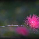Pink flowering gum  by myraj