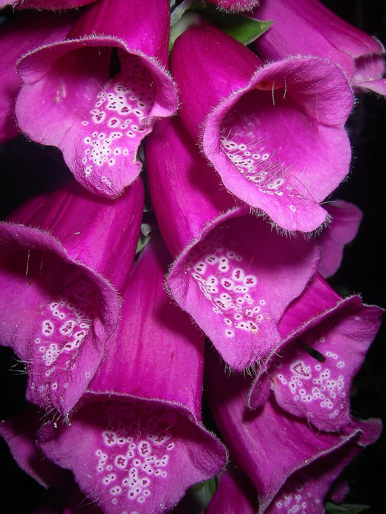 favourite foxgloves by Maureen Brittain