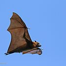 Flying Fox - 472 by Emmy Silvius