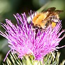 Bumble Bee & Thistle by AnnDixon