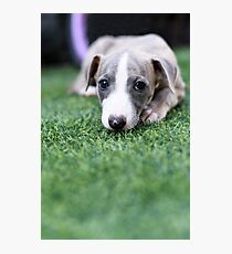 pedigree Whippet‎ puppy on the grass  Photographic Print
