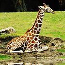 Animal Kingdom by Nikki Collier
