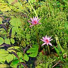 Water lillies by Northcote Community  Gardens