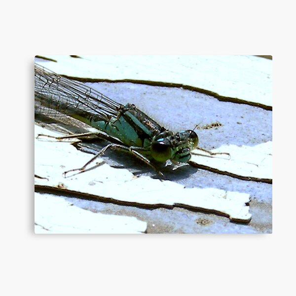 Dragonfly nymph Canvas Print