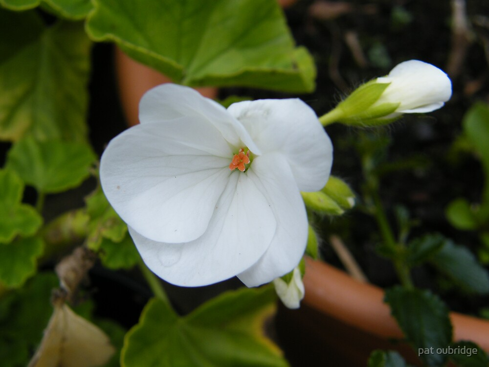 White Geranium by pat oubridge