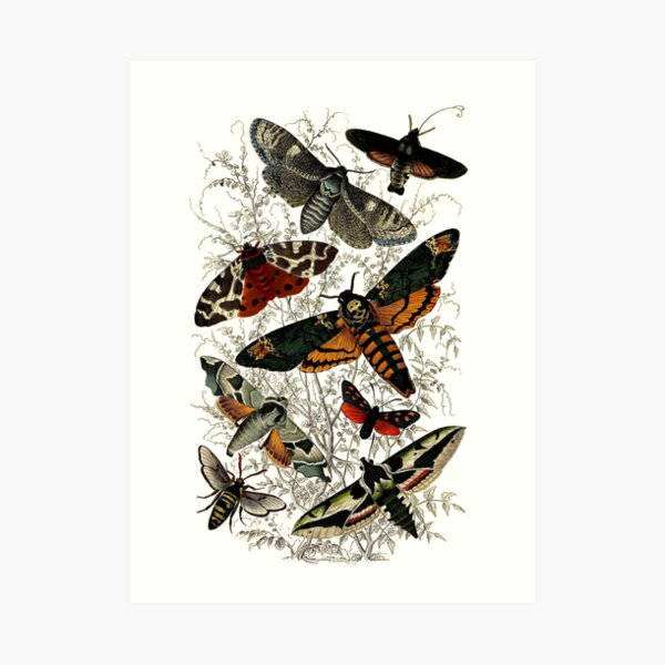 Victorian Moth Insects illustration Art Print