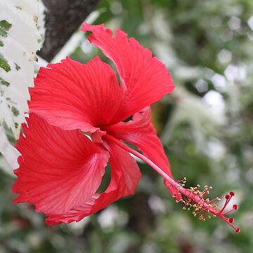 A splash of colour - Hibiscus flower by jewelsee