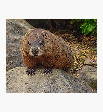 Groundhog Looking Down Photographic Print