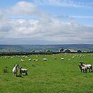 Nidderdale Sheep by Kat Simmons
