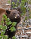 Black Bear with Cinnamon Color by WorldDesign