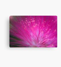 pink Calliandra (Calliandra harrisii) AKA powder-puff, powder puff plant or fairy duster Canvas Print