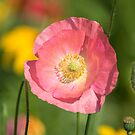 Shirley Poppy 2017-3 by Thomas Young