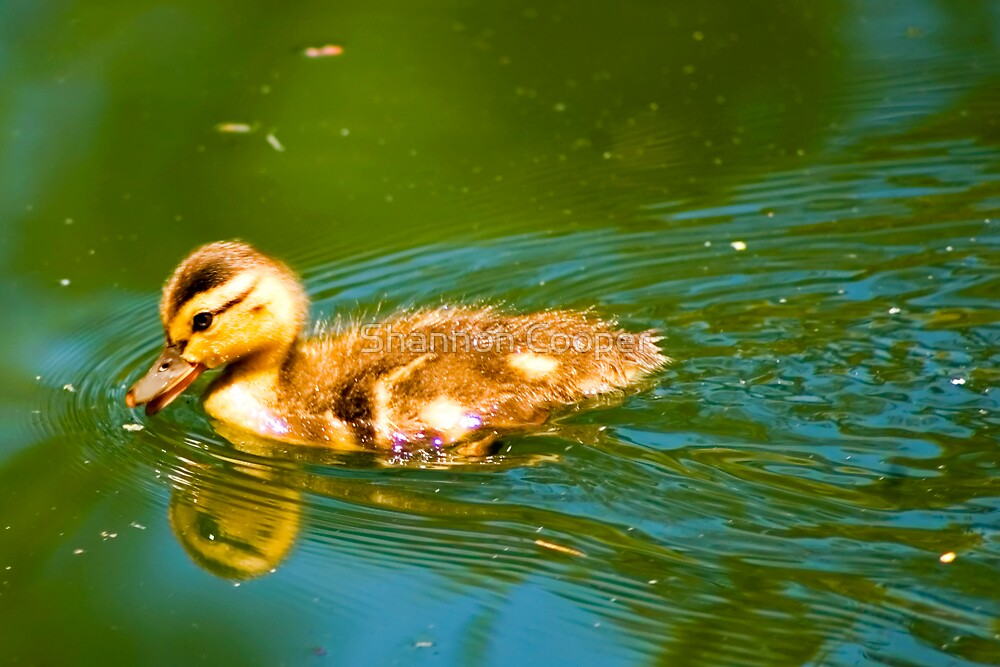 Duckling by Shannon Beauford