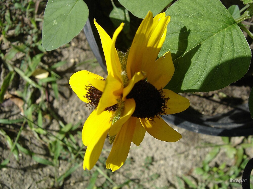 DOUBLE HEADED BLACK=EYED  SUSAN by librapat