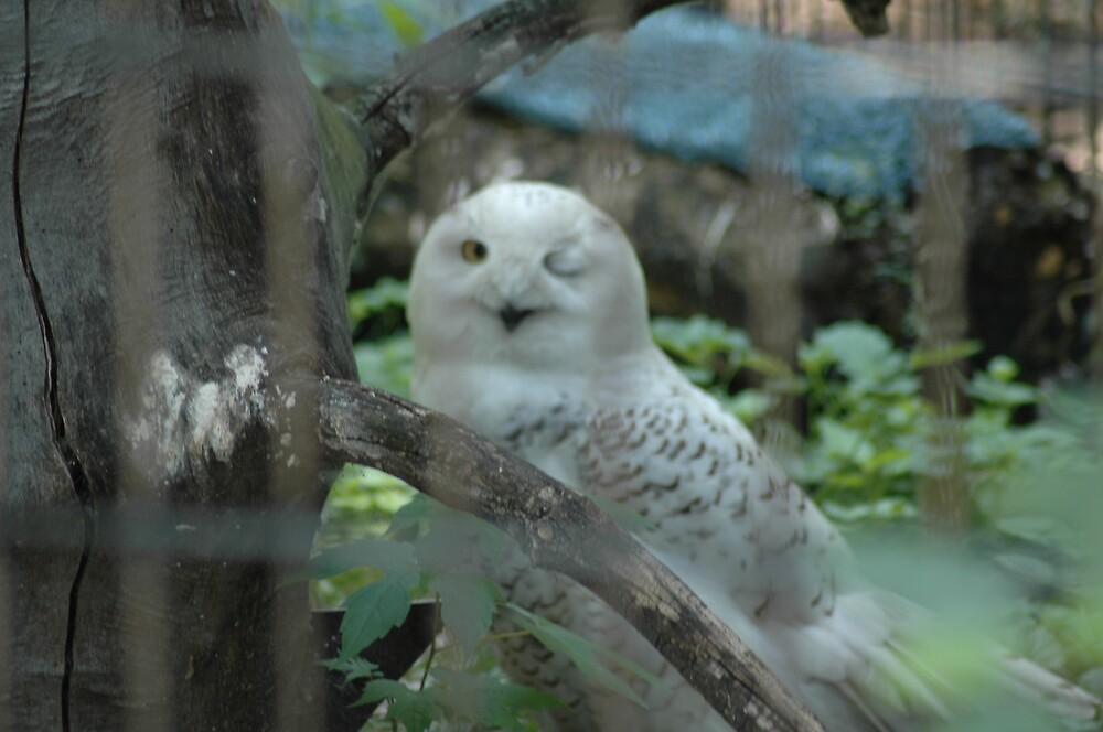 Snow Owl Winks by BarbsUSA