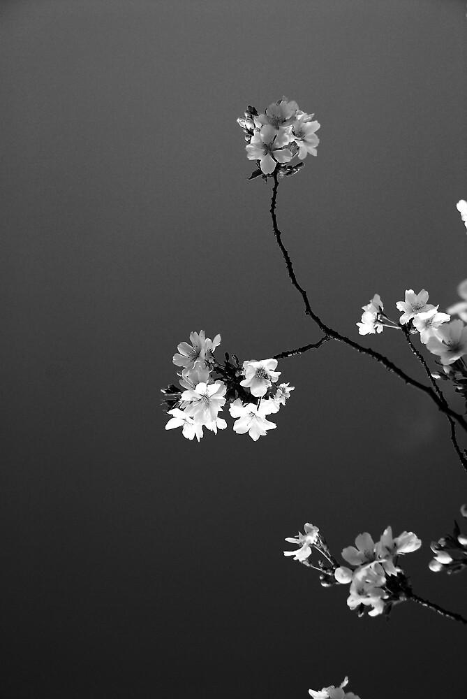 Cherryblossom by fallsguy