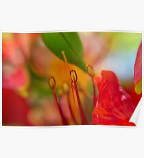 Red flower of the Delonix regia tree (AKA royal poinciana, flamboyant or flame tree) Poster