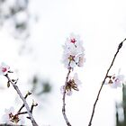 Almond blossom reaching up by emmelined
