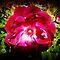 Deep Red/closeup Flower Challenge