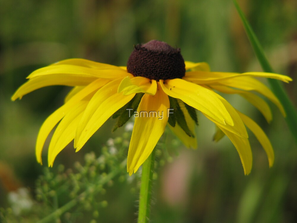 Black Eyed Susan by Tammy F