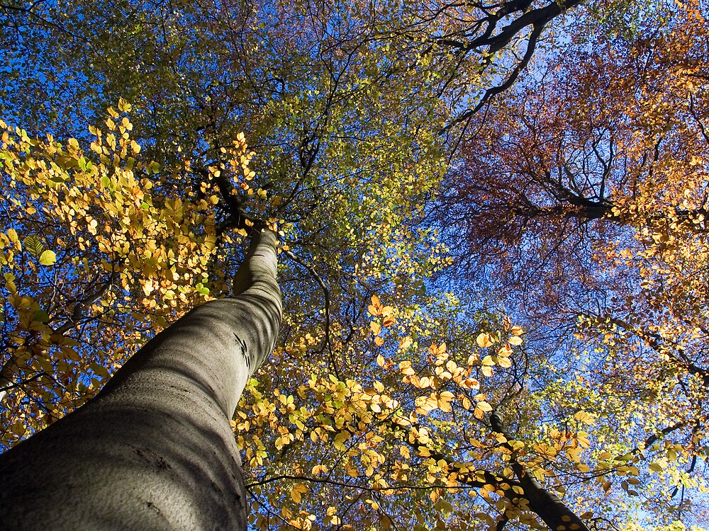 Autumn trees by Simon Hollingworth