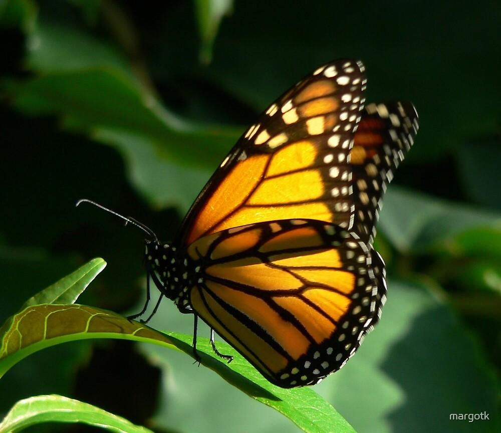 Monarch Butterfly by margotk