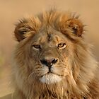Male Lion staring by quentinjlang
