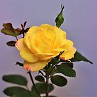 Yellow Rose by Lorraine Wilson