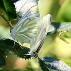 Two Green Veined Whites & Caterpillar by AnnDixon