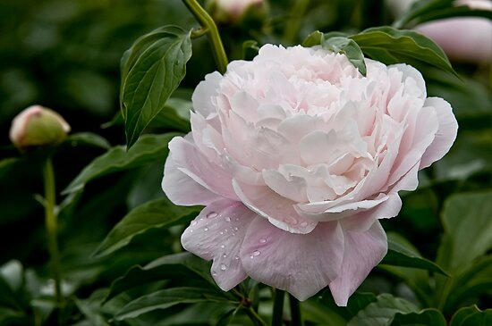 Peony by Michael Cummings