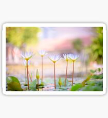 Selective focus of a white water lilies in a pond  Sticker