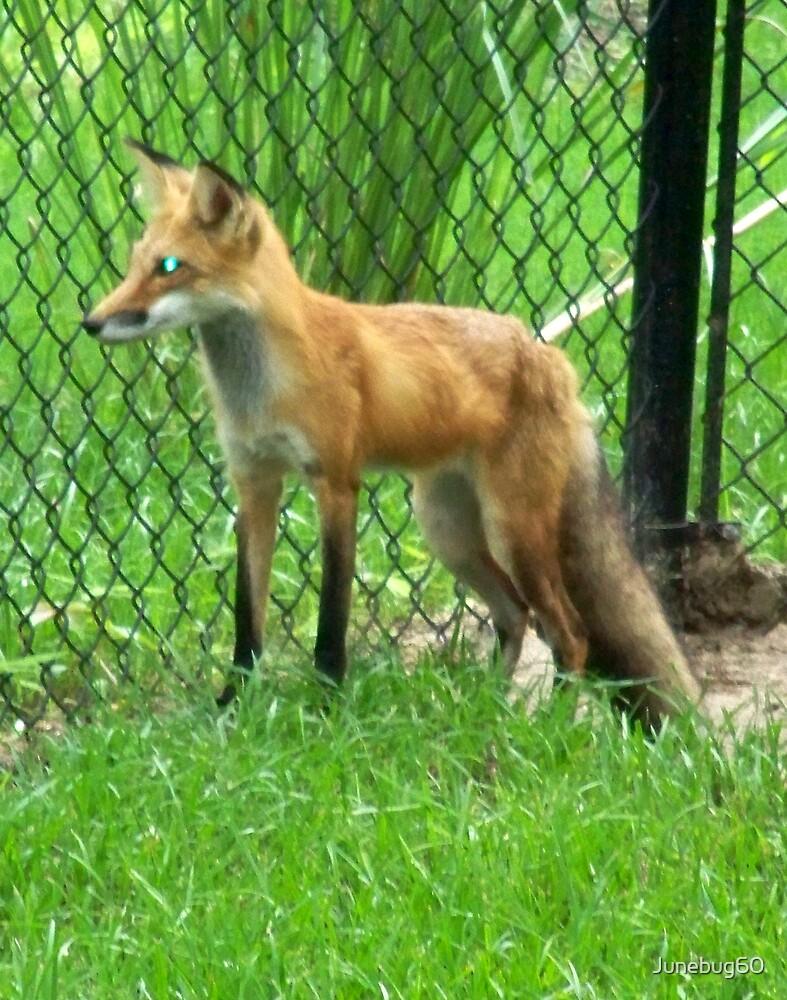 Red Fox by Junebug60