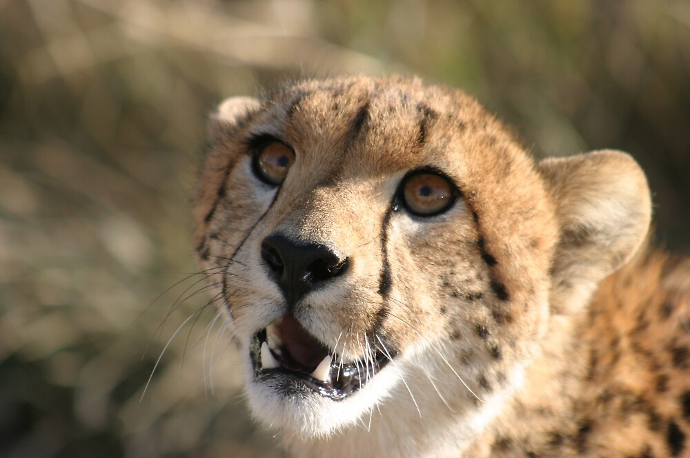 Cheetah Eyes On You by wbwilliamsdmd
