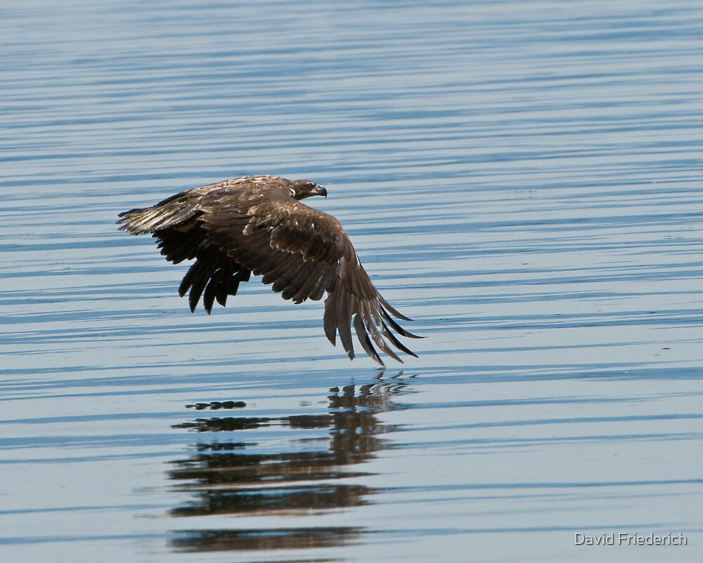 Eagle Skimming the Water by David Friederich