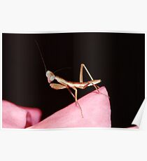 Baby Mantis On A Rose Poster