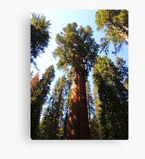 Redwood Tree Canvas Print