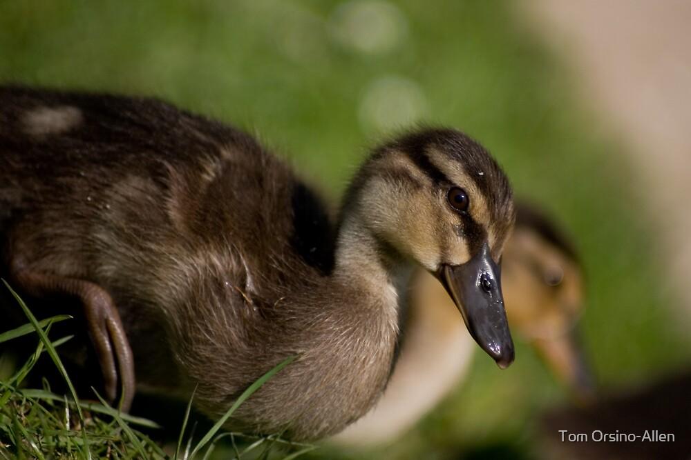 Ducklings by Tom Allen