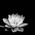 Water Lily by Nathalie Chaput