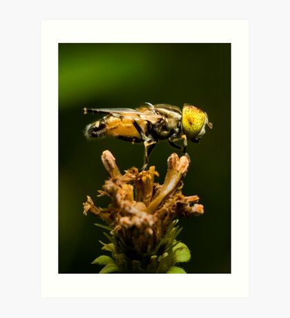 Yellow-eyed Hoverfly Art Print