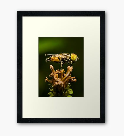 Yellow-eyed Hoverfly Framed Print