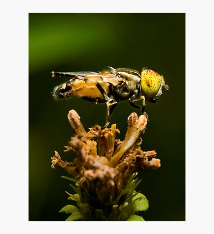 Yellow-eyed Hoverfly Photographic Print