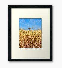 Wheat ears on a field against blue sky. Framed Print