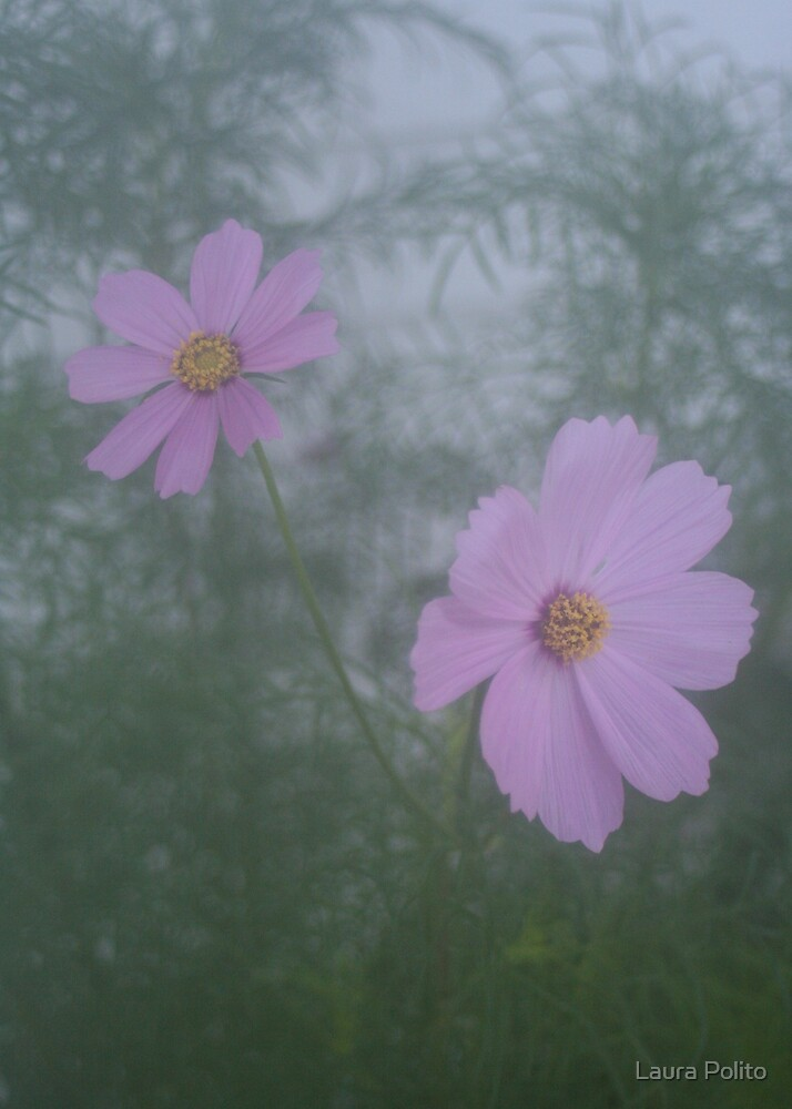 Purple Cosmos Flowers by Laura Polito