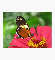 Tiger Longwing Photographic Print