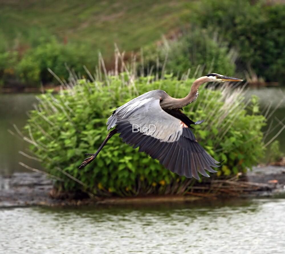 Great Blue Heron by BigD